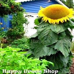 Sunflower 'Mongolian Giant'...