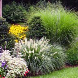 Ornamental grasses mix - 3...