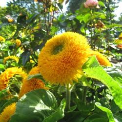 copy of Sunflower...
