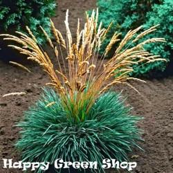 Blue Hair Grass - 300 seeds...