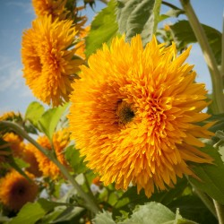 Sunflower tall 'Sungold' -...