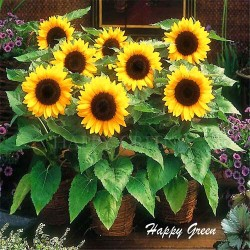 Sunflower dwarf 'Sunspot' -...